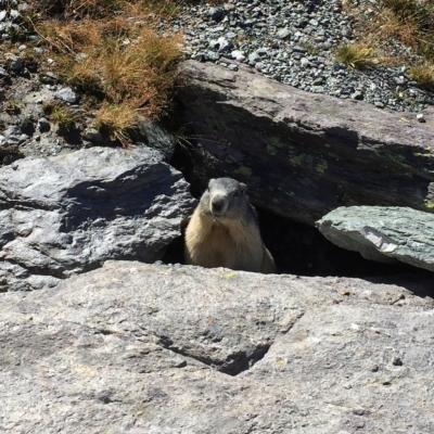 ete marmotte